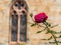 abbaye de Fontfroide/ La rose de Fontfroide