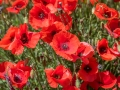 Coquelicots, rouge