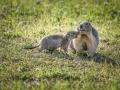 Marmottes / La Plagne