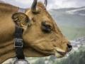 La Plagne, Vache