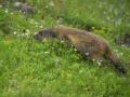 France, Mercantour/ Marmotte