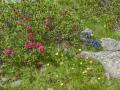 France, Mercantour/Rhododendron cilié