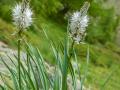 France, Mercantour/Asphodele blanc
