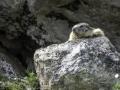 La Plagne /Marmottes