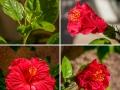 hibiscus-2