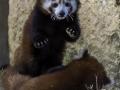 Panda Roux & Parc de la tête d'or