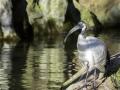 Ibis sacré & Parc de la tête d'or