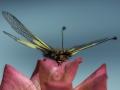 Ascalaphe/Insectes