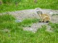 Marmotte/Mercantour
