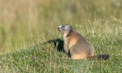 Marmottes : vie de famille