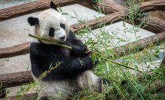 Panda géant Zoo de Beauval