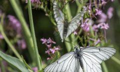 L'abeille et le Papillon au temps des lavandes