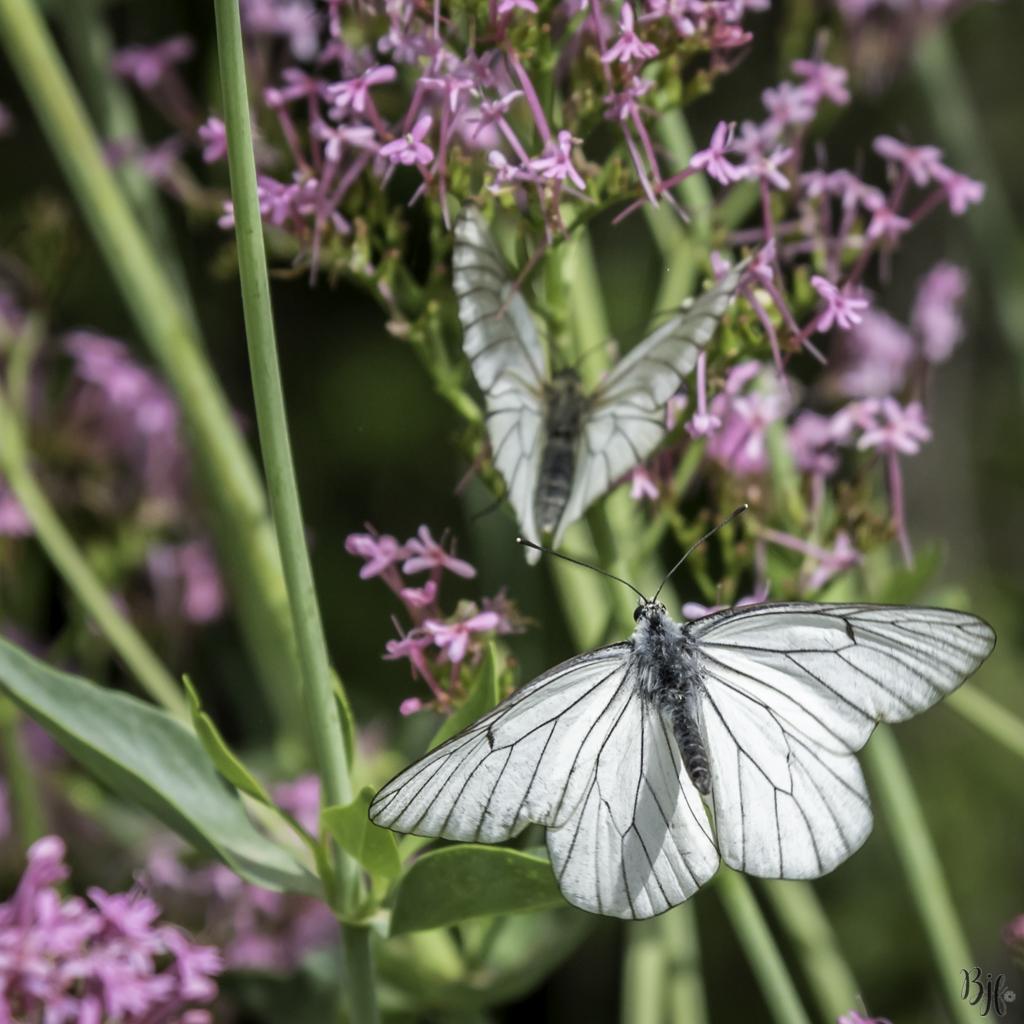 Papillon Le Gazé