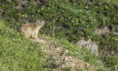 Marmottes et Hermines de la Plagne